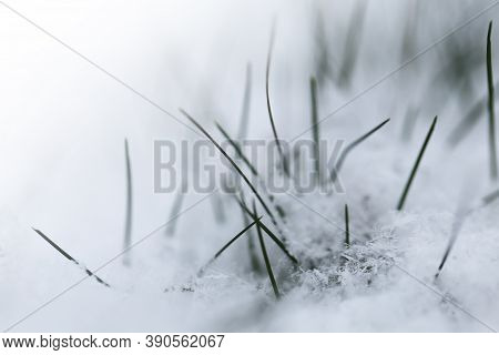 Grass In The Snow.rimes On Plants In The Garden. Winter Natural Plant Background In Cold Tones. Nove