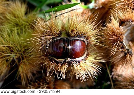 Chestnut In Its Husk On The Ground In A Forest