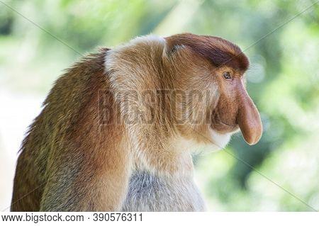 Nose-monkey In Borneo