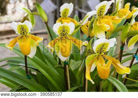 Lady Slipper(paphiopedilum Godefroyae) Is A Single  Flower Size 6-7 Cm Stem Length Of 12-15 Cm.
