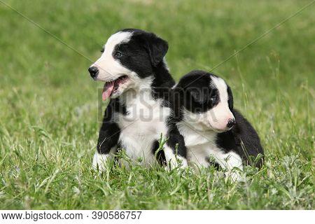 Amazing Border Collie Puppies