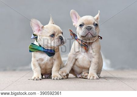 Pair Of Cute Lilac Fawn Colored French Bulldog Dog Puppies Wearing Bow Ties While Appearing To Hold