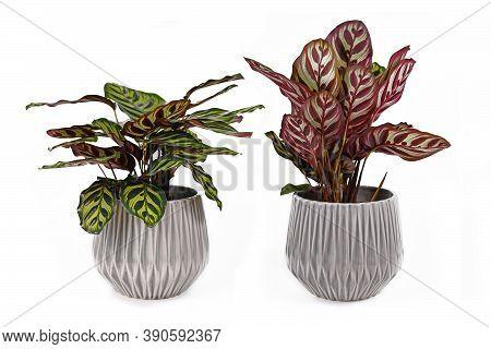 Houseplant With Botanic Correct Name