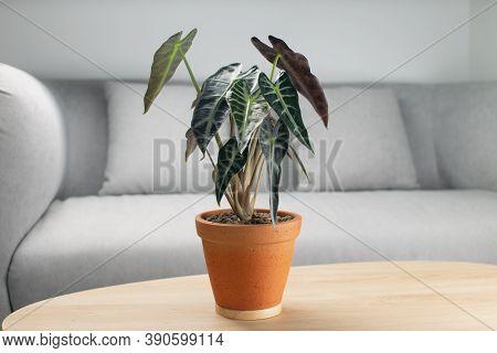 Alocasia Sanderiana Bull Or Alocasia Bambino In A Clay Pot