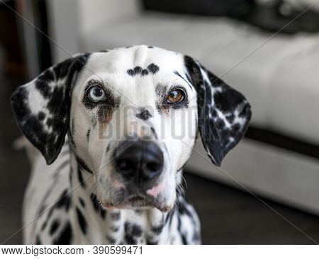 Dalmatian Dog. Dalmatian With Heterochromia Of The Eyes. Portrait Of A Purebred Dog At Home. A Dog W