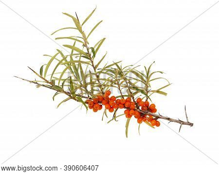 Branch Of Sea Buckthorn With Ripe Berries Isolated On White Background. Hippophae Rhamnoides