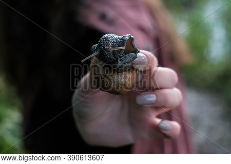 A Snail On Human Hand. Pet, Cosmetology And Useful Properties. A Snail From The Helicidae Family. Ai