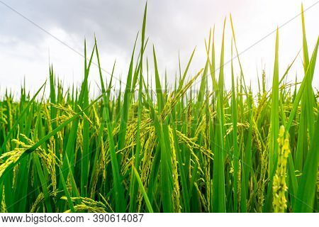 Green Paddy Field. Rice Plantation. Organic Jasmine Rice Farm In Asia. Rice Growing Agricultural Far