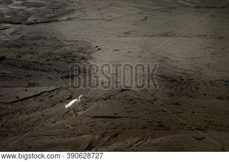 Little Egret (egretta Garzetta) Looking For Food On The Beach, Low Tide In Morgat (france)