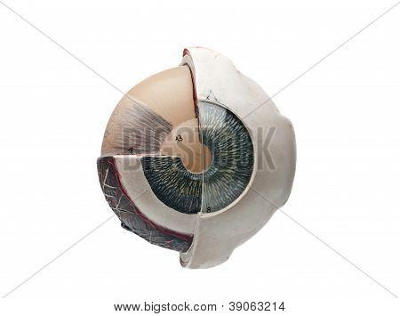 human eyeball model
