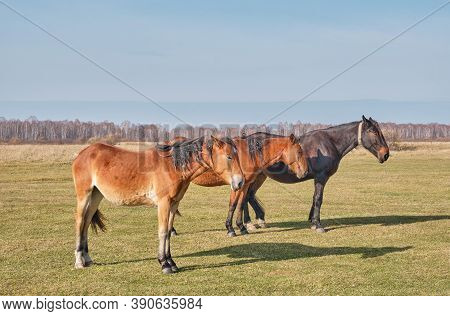Three Brown Cute Horses Sleep Peacefully, Standing On The Meadow. Horses Grazes In A Pasture Late Au