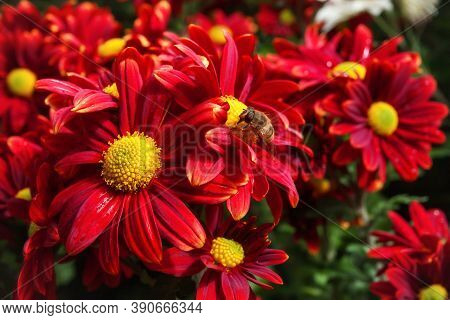 Background Of Red Chrysanthemums. A Bee Is Sitting On A Chrysanthemum. Beautiful Bright Chrysanthemu