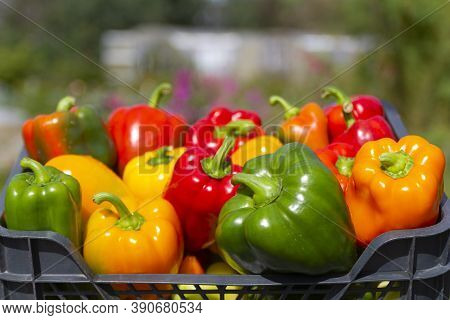 A Colorful Mix Of Paprika Capsicum In A Box Against The Backdrop Of Greenhouses In Summer Garden.clo