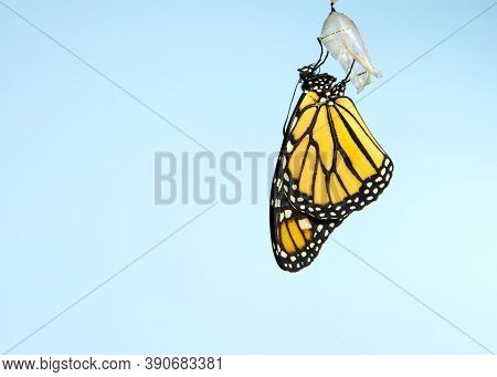 Close Up Of One Monarch Butterfly Hanging From A Chrysalis, Wings Slowly Extending, Wings Fully Exte