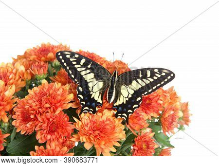 Top View Of One Old World, Or Yellow Swallowtail Butterfly With Wings Wide Open On Top Of Orange Mum