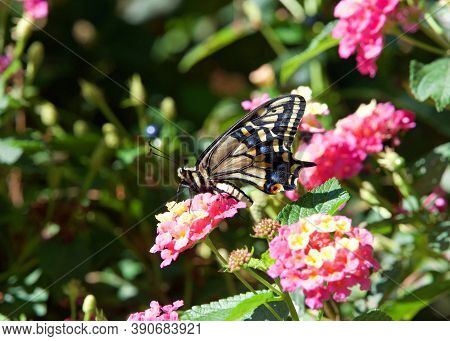 Profile View Of One Old World, Or Yellow Swallowtail Butterfly On Pink And Yellow Lantana Flowers In