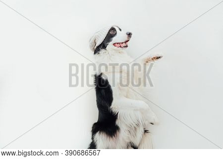 Funny Studio Portrait Of Cute Smiling Puppy Dog Border Collie Wearing Warm Knitted Clothes White Hat