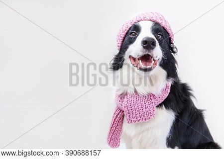 Funny Studio Portrait Of Cute Smiling Puppy Dog Border Collie Wearing Warm Knitted Clothes Scarf, Ha