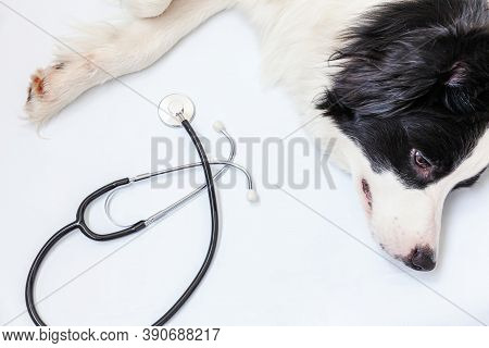 Puppy Dog Border Collie And Stethoscope Isolated On White Background. Little Dog On Reception At Vet
