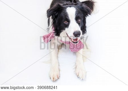 Funny Studio Portrait Of Cute Smiling Puppy Dog Border Collie Wearing Warm Clothes Scarf Around Neck