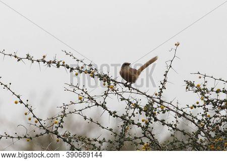 A Fulvous Babbler Or Fulvous Chatterer, Argya Fulva