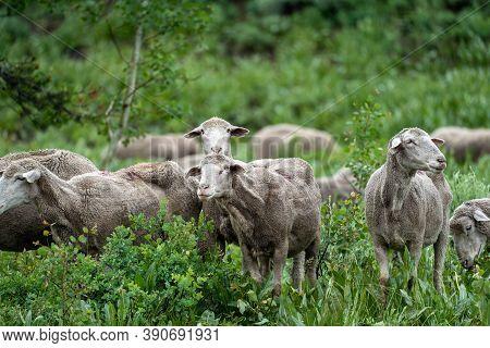 Herd Of Sheep Grazing Along The Teton Pass Near The Idaho And Wyoming State Border, Along Pine Creek