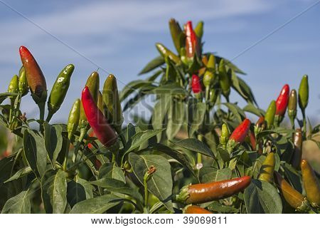 Chili Pepper Plant.