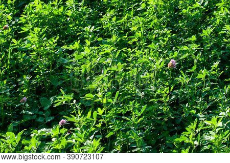 Red Glover Or Trifolium Pratense In A Field, Green Manure Or Fodder Plant In Sunlight