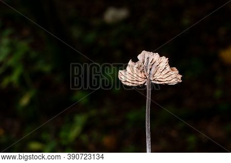 The Cap Of Mycetinis Scorodonius Or Vampires Bane With Beige Gills And A Black Stipe
