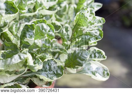 Slipper Flower, Redbird Cactus, Jew-bush, Zigzag Plant Or Euphorbia Tithymaloides Is A Thai Herb Wit