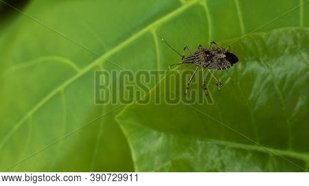 A Close Up Shot With Selective Focus Of A Brown Marmorated Stink Bug (halyomorpha Halys) On A Leaf