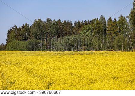 Yellow Raps Field Near Forest In Spring. Photo Taken In Latvia.