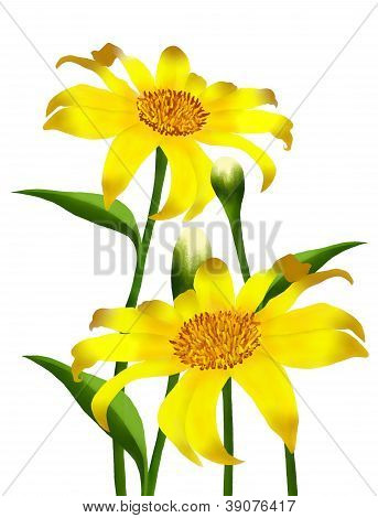 Fresh Yellow Mexican Sunflowers In Full Blossom