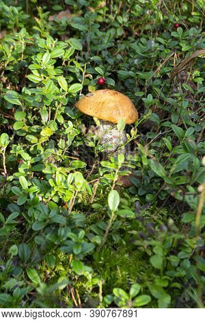 Edible Mushroom Boletus Reticulatus In The Forest. Known As Summer Cep Or Summer Bolete. Vertical Im
