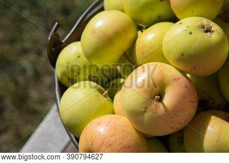 Yellow-green Apples. The Fruit Is In An Iron Bucket. Autumn Harvest. Abundance Of Ripe Apples. Healt