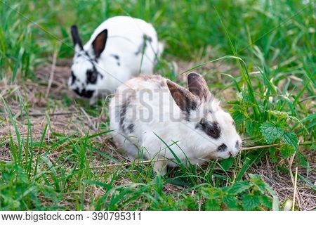 Rabbits Are Sitting On The Green Lawn. White And Fluffy Hares. Tame Rodents Walk On The Lawn. Coward