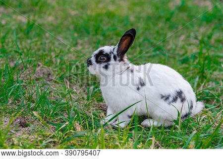 A Rabbit Is Sitting On A Green Lawn. White And Fluffy Hare. A Tame Rodent Walks On The Lawn. A Cowar