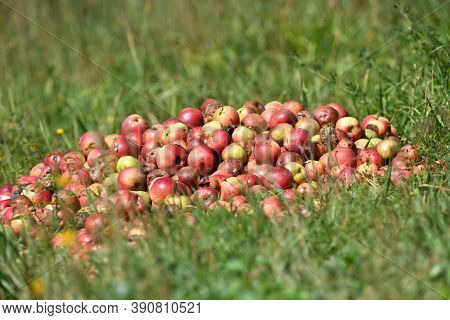Not Suitable Rotten Apples For Consumption Intended For Composting In The Garden