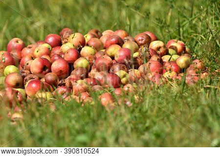 A Bunch Of Rotten Red Apples In Autumn For Waste Not For Sale
