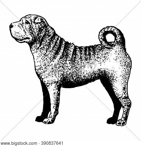 Realistic Shar Pei. Dog Breed - Vector Illustration