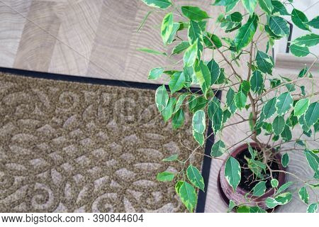 Ficus Benjamin With Leaves In Home Interior. Green Leaves Of A Ficus