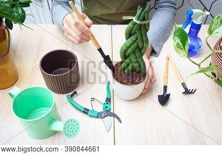 Womans Hands Transplanting Plant Into A New Pot. Sansevieria