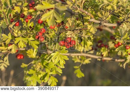 Red Berries And Leaves On Prickly Branches Of Hawthorn Or Rose Hips Crataegus, Common Hawthorn, Sing