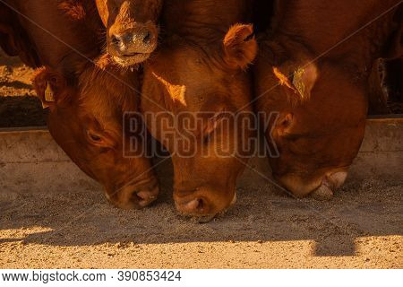 Limousine Bulls On A Farm. Limousine Bulls Spend Time On The Farm. Bulls Eat And Stand In The Pen. R