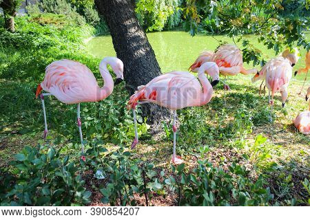 A Group Of Pink Flamingos Resting On The Glade