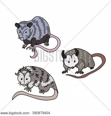 Three Cute Gray Possums With Pink Noses And Tails, Interesting Marsupial Animals, Vector Illustratio