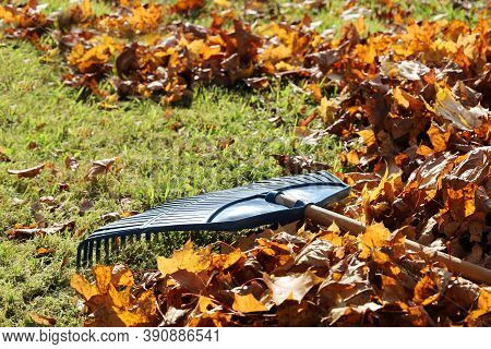 Garden Leaf Rake Is On The Grass Among The Maple Leaves Close-up. Sunny Bright Day For Cleaning The