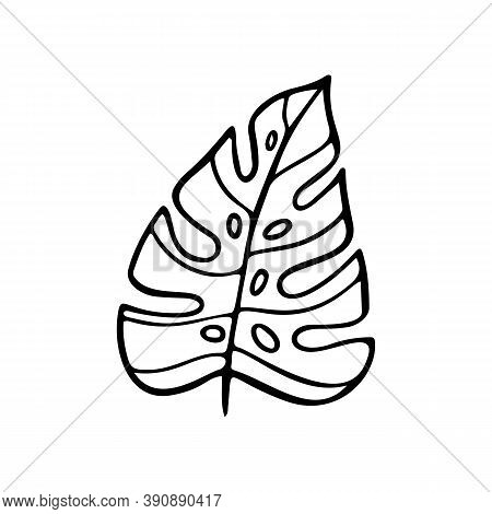 Tropical Palm Leaf. Vector Doodle Leaves Of Tropical Plant Monstera Isolated On White Background. Ju