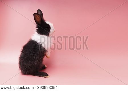 Furry Black And White Adorable Rabbit Standing On Isolated Pink Background. Lovely Baby Bunny Stand