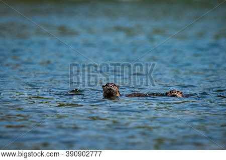 Smooth Coated Otter In Pristine Blue Water Of Ramganga River For Fishing At Dhikala Zone Of Jim Corb